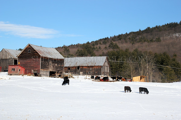 Black Angus Cattle in the snow in Vermont