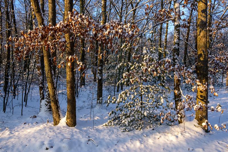 New Snow on Oak Leaves, Sunrise, Blackstone, MA