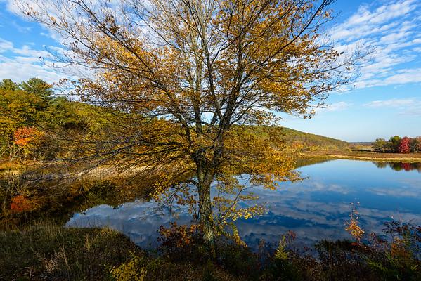 Maples in the Morning, Uxbridge, MA