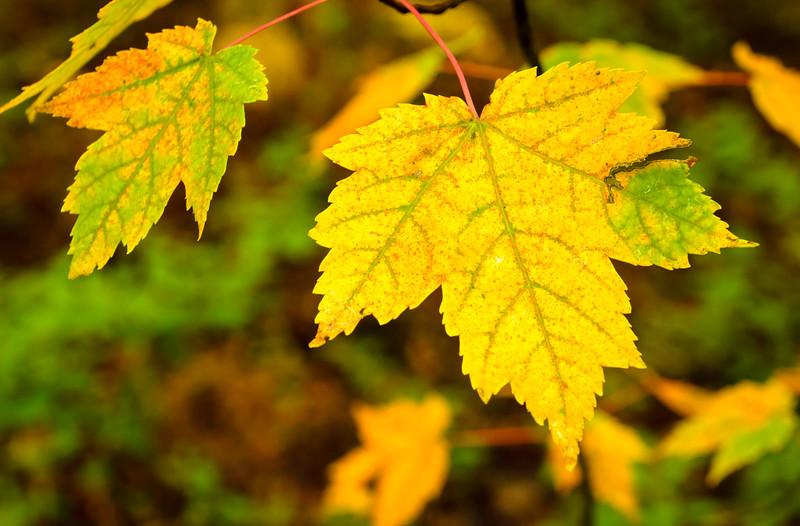 Maple Gold, Blackstone, MA