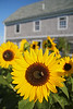 Sunflower, Monhegan Island, Maine