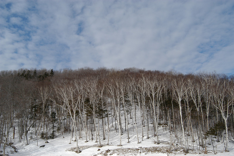 Birches at Mt Washington NH