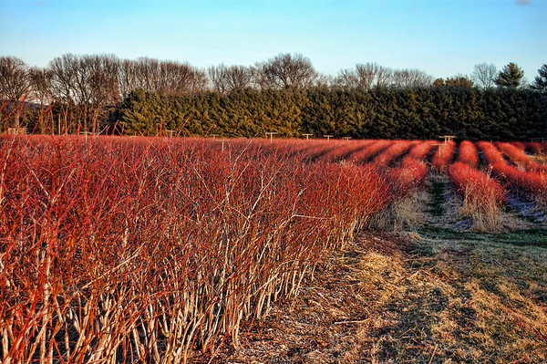 A field of blueberry bushes in winter