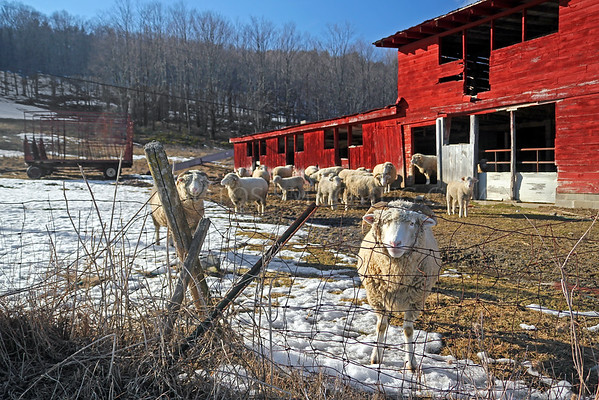 Sheep on a farm in Western Massachusetts.
