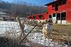 Sheep on a farm in Western Massachusetts.