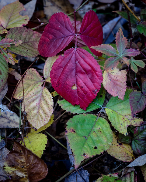 Raspberrry Leaves, Blackstone, MA