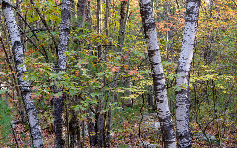 Autumn Birch Quartet, Blackstone, MA