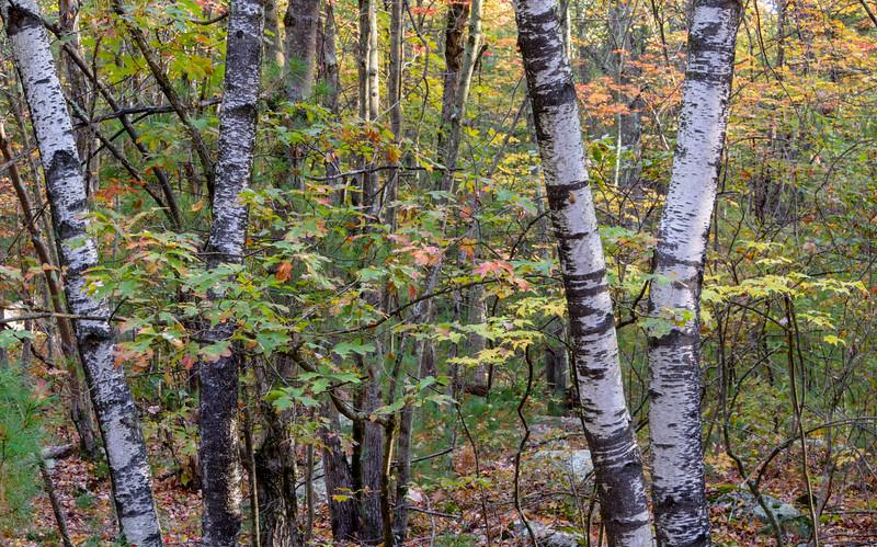 Autumn Birch Quartet, Blackstone, MA