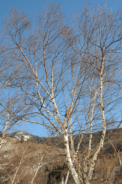 Winter Birch NH