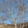 Winter Birch NH