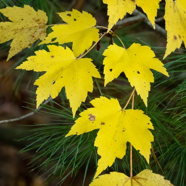 Maple Leaves, Blackstone, MA