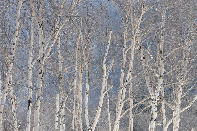 Iced Birches NH