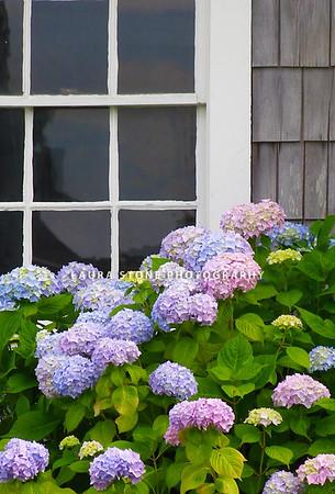 Classic New England: Blue hydrangeas and weathered gray shingles.