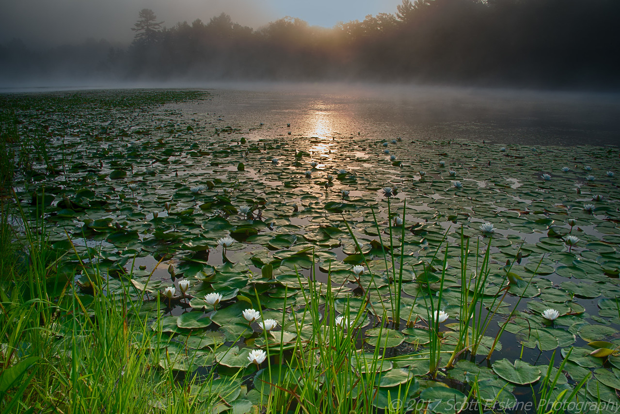 Water Lilies at Sunrise, Silver Lake, Grafton, Ma