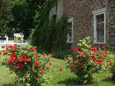 Roses by fieldstone house, Milford NJ