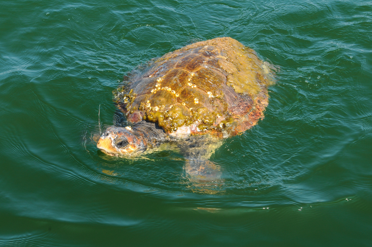 Sea Turtle unable to submerge off the Jersey coast - August 2008