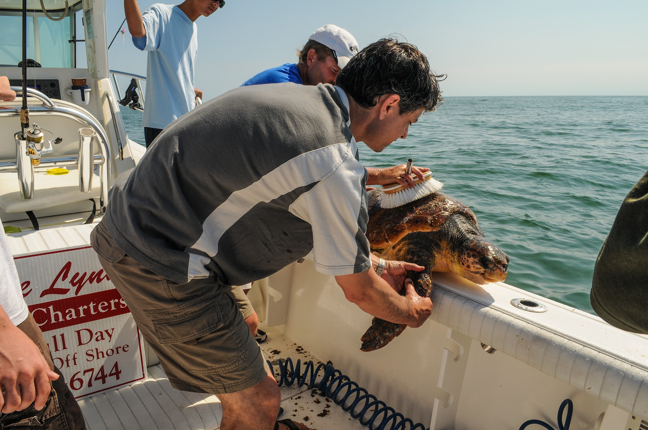Tony keeping turtle steady while Captain of charter attempts to remove growth from shell - August 2008