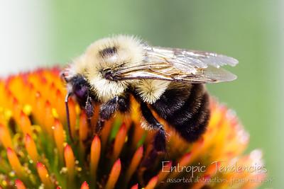Bee on flower Photographer: Barrie Spence