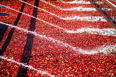 Pine Barrens Cranberries-5001