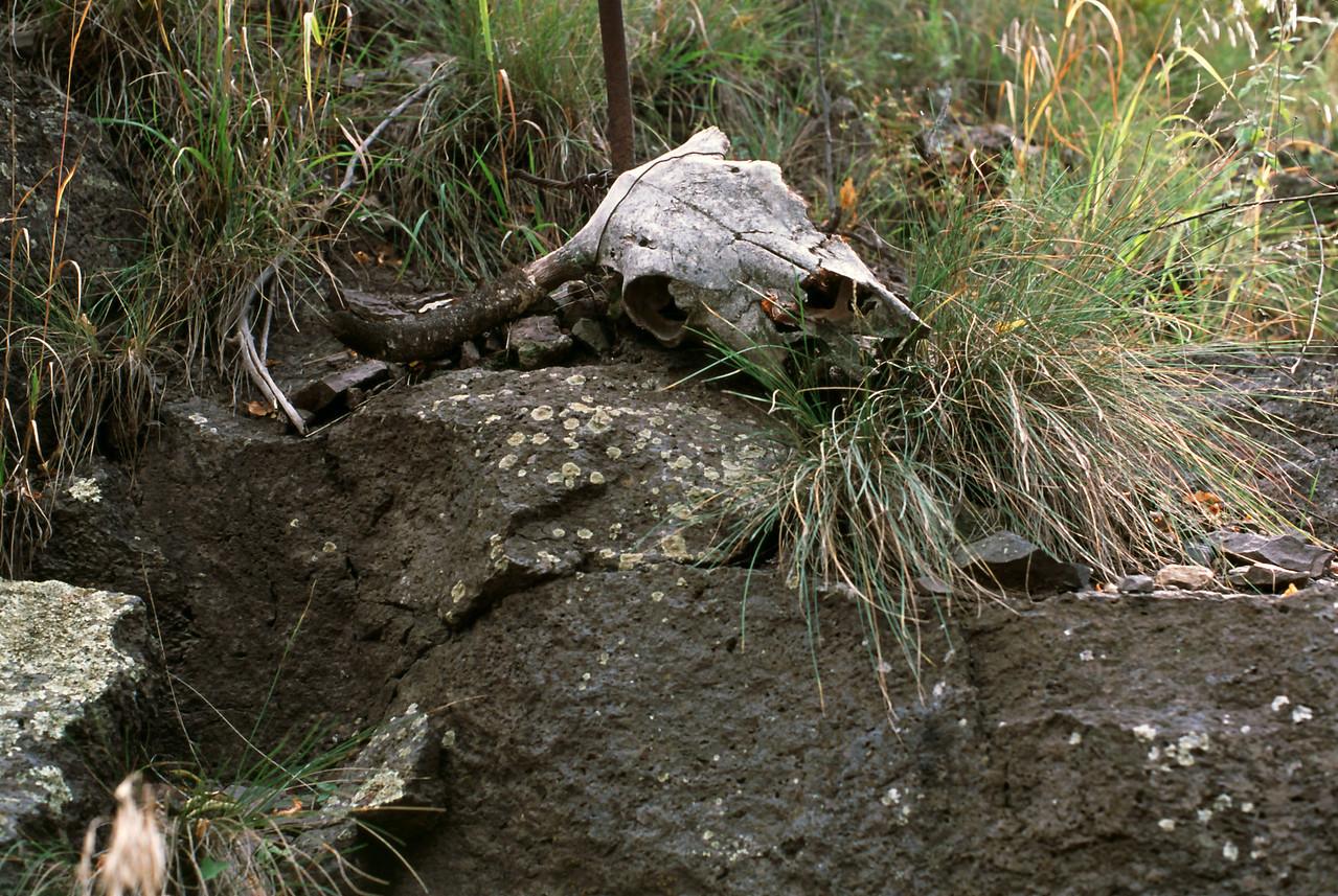 cow skull, Mogollon, New Mexico