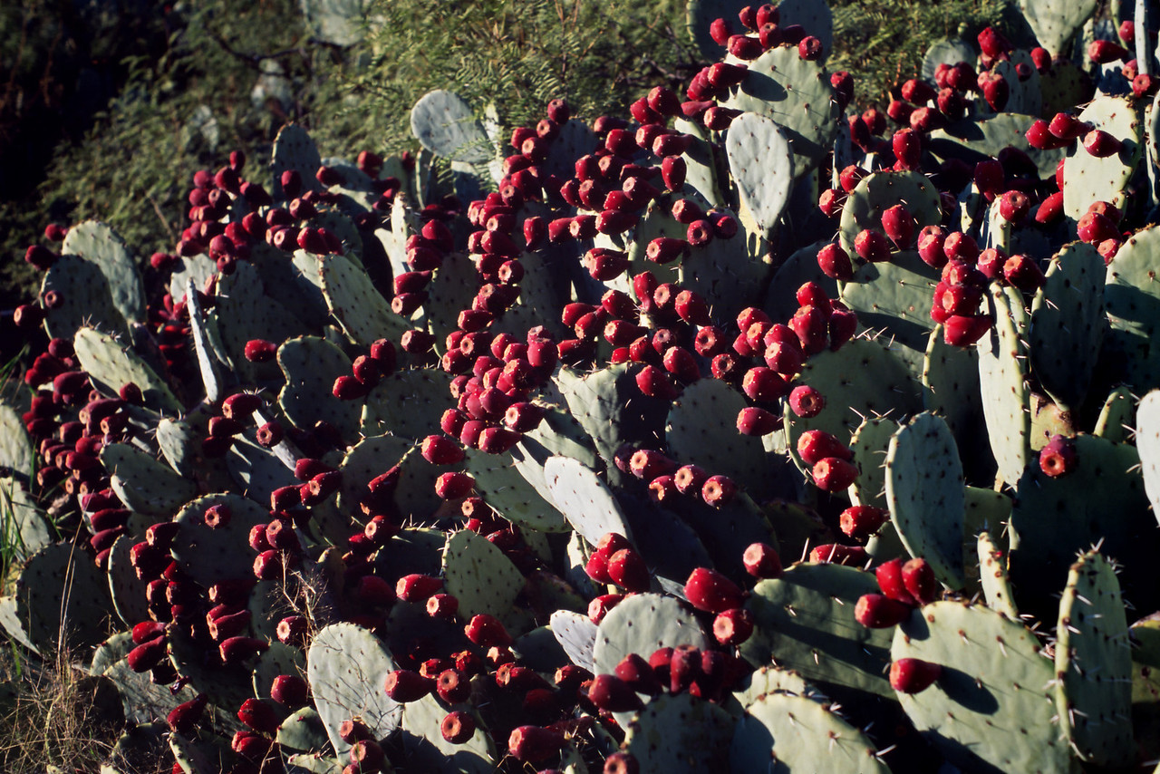 This display of ripe prickly pear fruit was surrounded by a heady wine-like aroma.