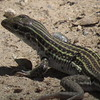 Lizard in riparian preserve