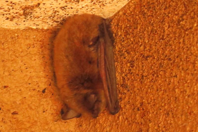 Bat snoozing at Audubon Society