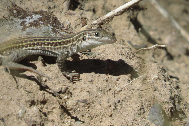 New Mexican whiptail lizard