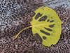 Aspen leaf on bark
