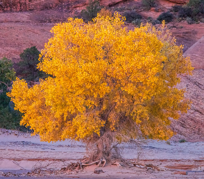 A cottonwood tree growing in the bottom of the canyon indicates water beneath the surface.