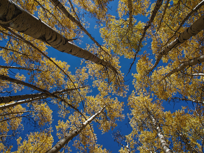 Napping under the aspens