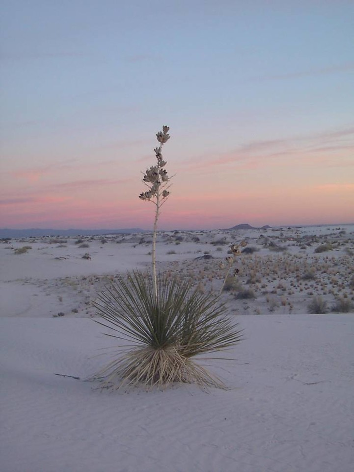x) A Yucca plant at dusk.