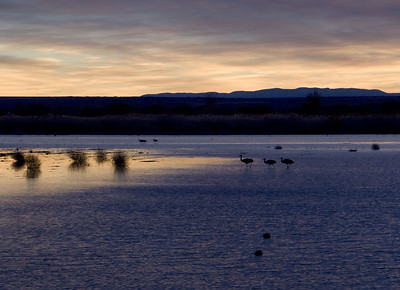 Sand hill cranes.