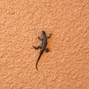 Lonely Gekko at Miraval