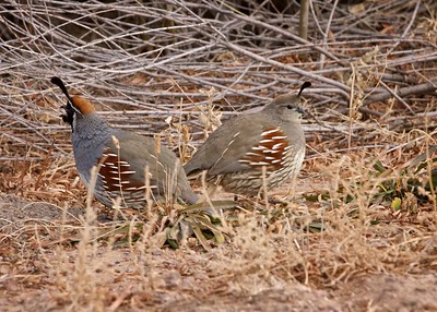 Quail along the road in the Bosque del Apache Wildlife Refuge, NM