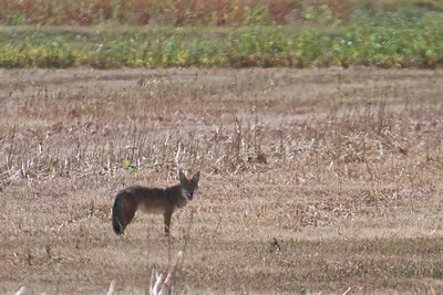 A lone coyote in the Bosque del Apache Wildlife Refuge, NM