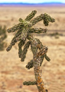 A Chane Cholla cactus along Hwy 60, 6500 feet, west of Socorro, New Mexico