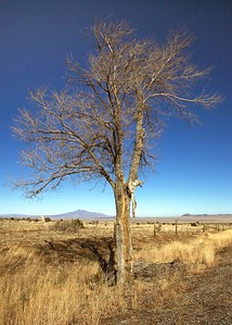 A tree stands out along Hwy 60, 6500 feet, west of Socorro, New Mexico