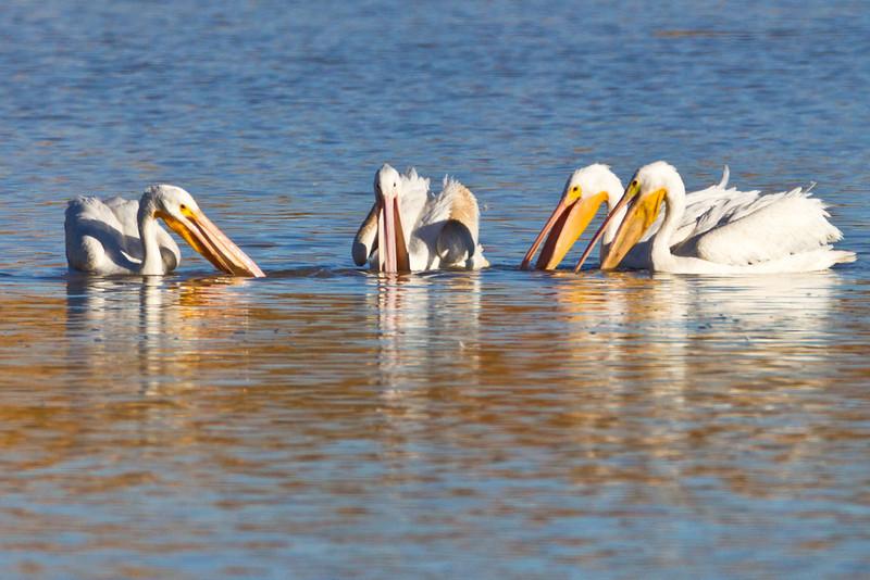 Pelican-White-NM-0697