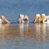 Pelican-White-NM-0697