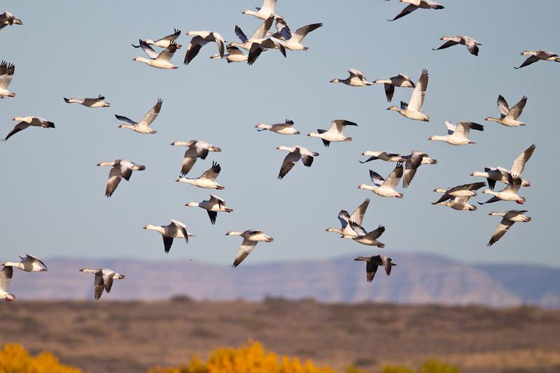 Geese-Snow-NM-9768