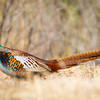 Pheasant-NM-1261