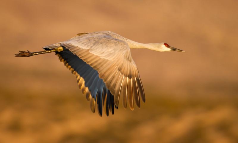 Crane-Sandhill-4198