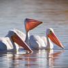 Pelican-White-NM-0807