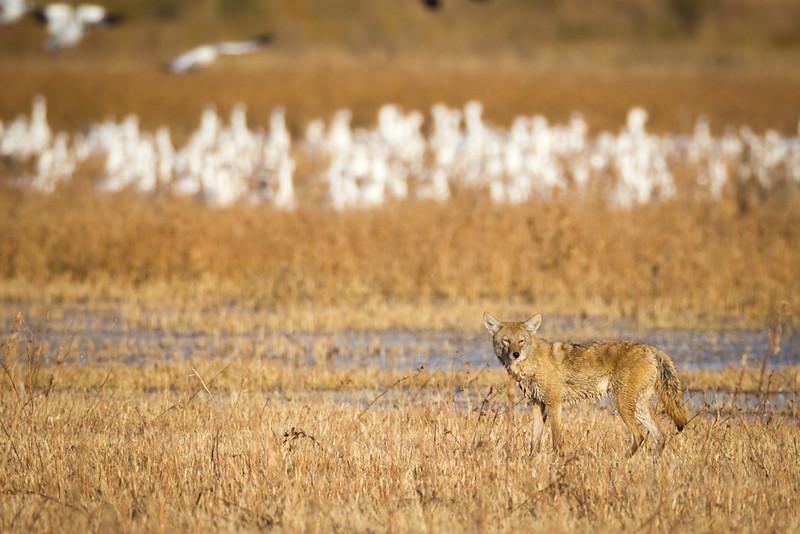 Coyote-NM-9823
