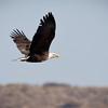 Eagle-Bald-2556
