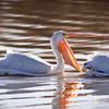 Pelican-White-NM-0888