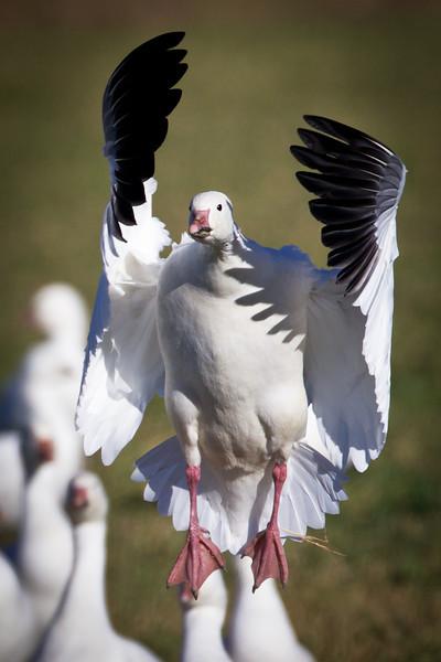 Geese-Snow-NM-0180
