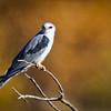 Kite-White-tailed--1815