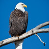 Eagle-Bald-mature-1244
